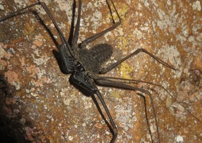 Cave-dwelling Whip Spider