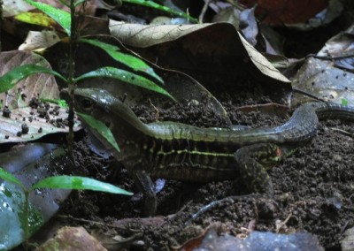 Four-lined Whiptail