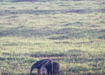 Great Ant-Eater