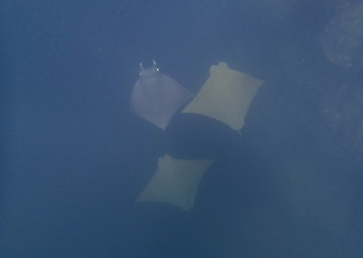Golden Cow-nosed Rays