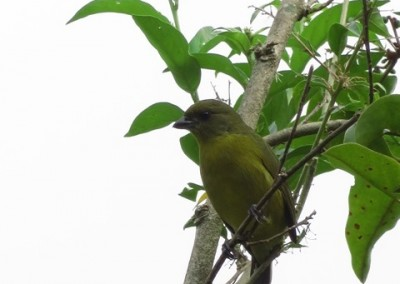 Hepatic Tanager (F)