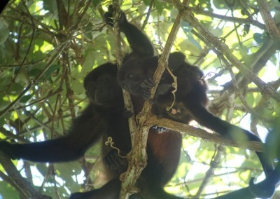 Mantled Howler Monkey's