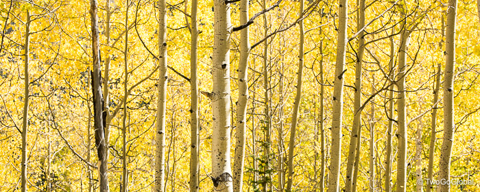 Aspens in the height of Fall colors