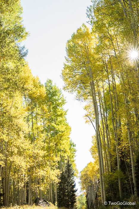 Pockets of yellow aspens covered the hillside