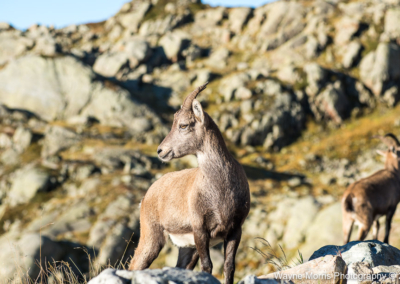 Alpine Ibex in the French Alps